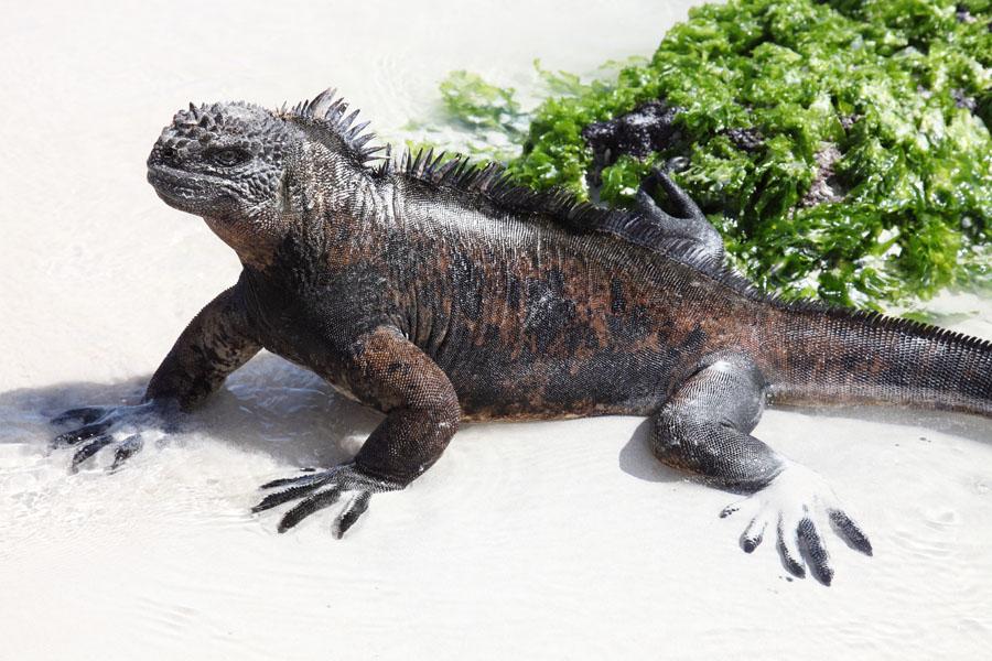 Marine Iguana, Santa Cruz Island