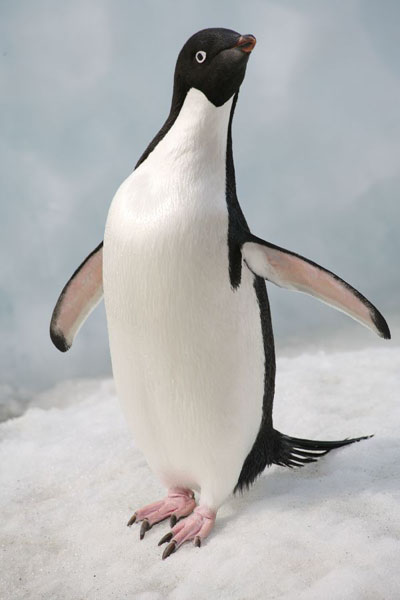 Images of adelie penguins - photo#13