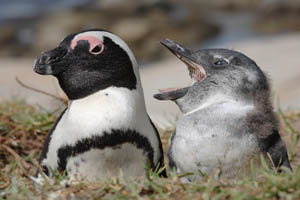 African Penguin with chick at nest