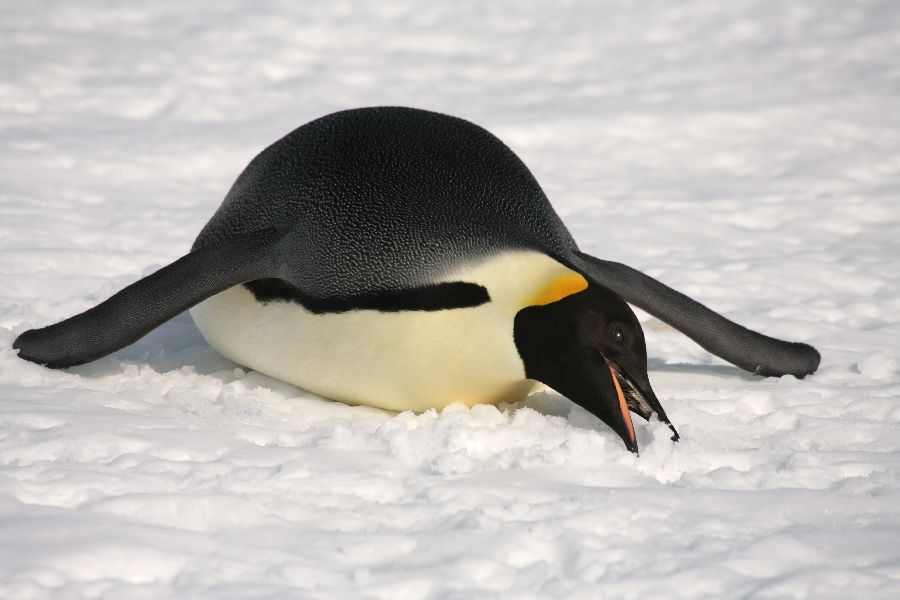 picture of emperor penguin