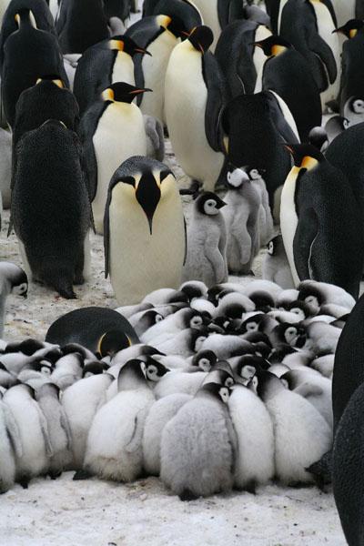 Emperor Penguins huddle in Emperor Penguins Huddle
