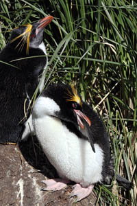 Macaroni Penguin Preening at Nest
