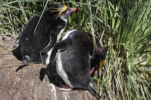 Preening Macaroni Penguin at Nest
