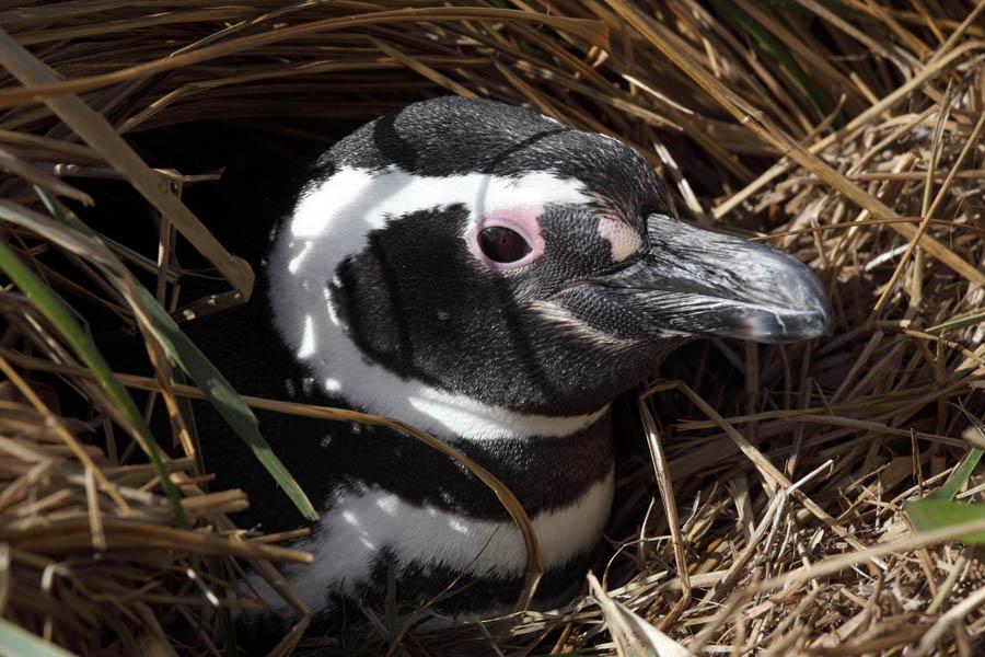 http://www.photovolcanica.com/PenguinSpecies/Magellanic/ANT09_0092.jpg