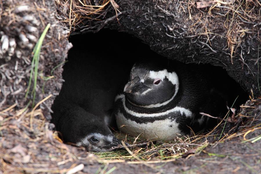 Magellanic Penguin Nes...