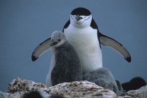 Chinstrap Penguin with chicks