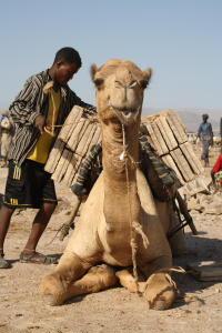 Camel caricato con blocchi di sale, la depressione della Dancalia